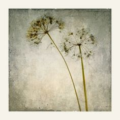 by Stephen Edds & Joan Kocak Onion Flower, Dandelion Clock, Nature Sketch, Texture Photography, Autumn Painting, Retro Flowers, Edd, Mixed Media Collage, Earth Tones
