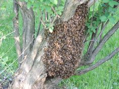 The swarm. Although this was my first swarm, it was fun trying to get them. I was not properly prepared. The next one is mine.