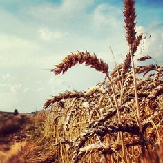 #campo di #grano. #Wheatfield. #instagramers #igerskrasnystaw #instapoland #natura #nature #krasnystaw #bestoftheday #life #picoftheday #notlublin #bestpicture #instagramhub - @rawly76- #webstagram Poland, My Photos, Nature, Pictures, Life, Instagram, Photos, Naturaleza, Nature Illustration
