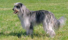 pyrenean shepherd photo | Pyrenean Shepherd Dog Breed Information