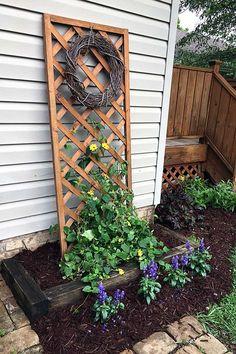 Black-Eyed Susan Vine For The Win Black-eyed Susan vine planted with salvia