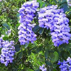 texas mountain laurel blooms