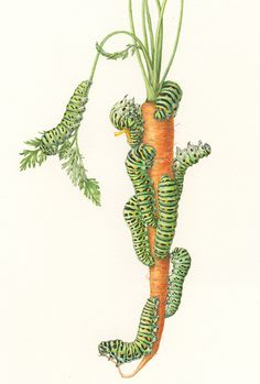 <strong>Creep carrot</strong>   14 x 11   watercolor on paper