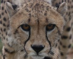 Guy gets the opprtunity to help a cheetah start a new life in het wild. You can do that, too!