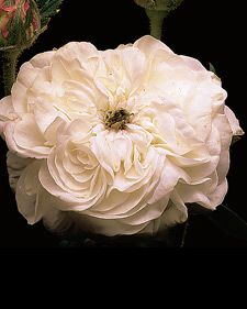 Old garden rose:  Rosa Madame Hardy
