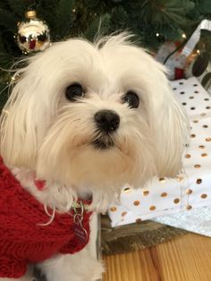 Those eyes get whatever they want. #Maltese