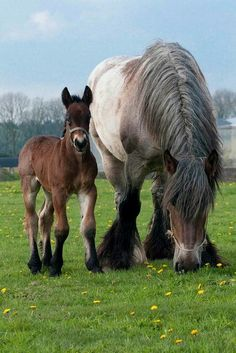 Draft horse with foal ~ by Ton van der Weerden* look at those foals legs! Big Horses, Work Horses, Pretty Horses, Horse Love, Beautiful Horses, Animals Beautiful, Black Horses, Animals And Pets, Baby Animals