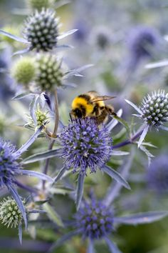 Bumblebee on echiops. Bees LOVE this flower! // Great Gardens & Ideas //