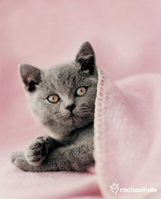 Kokomo (British Shorthair) - Kokomo always finds the coziest spots for a nap (pic by Rachael Hale) Kittens And Puppies, Cute Kittens, Cats And Kittens, Beautiful Cats, Animals Beautiful, Cute Animals, Grey Kitten, Grey Cats, Face Chat