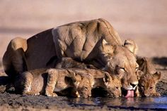 Lioness and cubs, Chobe National Park, Botswana