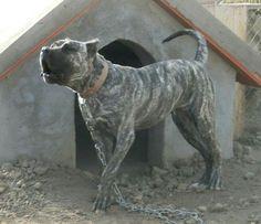 """Perro de presa canario tradicional """"el pasil"""""""