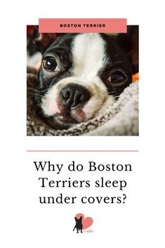 Boston Terriers have many facts that make them special, and their sleeping habits is one. Boston Terrier Temperament, Red Boston Terriers, Boston Bull Terrier, Dog Facts Interesting, Dog Steps, Terrier Breeds, Lap Dogs, Dog Rules, Sleeping Dogs