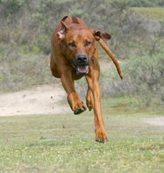 Rhod Ridgeback, fastest (next to Greyhound) dog in the WORLD! We see it every day . . .