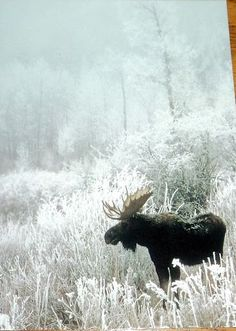 Nature, Animals, Wildlife: The Beauty at one place in winter season Moose Deer, Moose Hunting, Bull Moose, Pheasant Hunting, Turkey Hunting, Archery Hunting, Nature Animals, Animals And Pets, Cute Animals