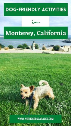 Is Monterey dog-friendly? Is Carmel by the sea dog-friendly? Are you planning to travel to Monterey with dogs? Find out 10 things to do with your dog in Monterey, California! #montereydogfriendly #montereycaliforniawithdogs #montereywithdogs #carmelbytheseadogfriendly #carmelcaliforniadogfriendly #dogfriendlycarmelca #dogfriendlycarmel #carmelhighlightsdog #montereythingstodo #thingstodoinmonterey #montereybaycaliforniathingstodo Dog Travel, Travel Tips, Carmel Highlights, Stuff To Do, Things To Do, Dog Health Tips, Carmel California, Carmel By The Sea, Dog Care Tips