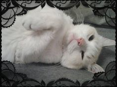.white kitty framed in lace from lovely cats on facebook.