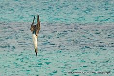 Blue Footed Booby diving   Flickr - Photo Sharing! Description from flickr.com. I searched for this on bing.com/images