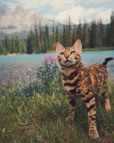 Meet Suki, The Adventure Wondercat Who Became an Instagram Star #inspiration #photography Cute Cats And Kittens, I Love Cats, Crazy Cats, Kittens Cutest, Ragdoll Kittens, Tabby Cats, White Kittens, Siamese Cats, Black Cats