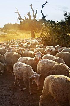 Sheeps in Dehesa, between Hervas n Zarza de Granadilla Village, Caceres Province, Extremadura_ Spain