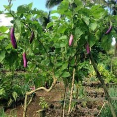 Grafting eggplant onto Turkey Berry Tree for Perennial Eggplants Permaculture, Ipomoea Aquatica, Vegetable Garden, Garden Plants, Healthy Eggplant, Perennial Vegetables, Nursery Pictures, Home Grown Vegetables, Organic Fruit