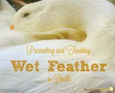 Fresh Eggs Daily® Preventing and treating Wet Feather in Backyard Ducks