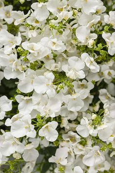 Planting a Moonlit Garden? Then don't forget Flirtation® Glacier White. It is wonderful for early season gardening, yet will last all the way through summer with a well-branched, mounding habit.