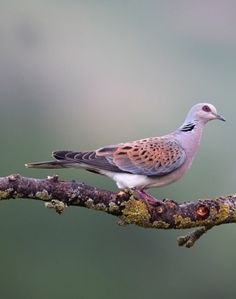 10 of the most endangered animal species in Britain Pretty Birds, Beautiful Birds, Animals Beautiful, Most Endangered Animals, Endangered Species, Dove Pigeon, Mourning Dove, Turtle Dove, Christ