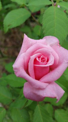 Belinda's Dream, Michele's garden