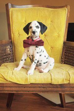 Watch Me Grow: 8 Weeks   Dalmatian Puppy