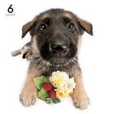 Artlist Collection THE DOG (German Shepherd Dog)