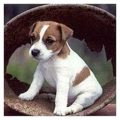 Unlike mastiffs, mini-Jack Russels think they are 200 pound guard dogs...so funny and cute! i-3-dogs