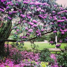 Rhododendrons in bloom near Flora's Green at The Lost Gardens of Heligan #loveCornwall http://www.visitcornwall.com/things-to-do/south-cornwall/st-austell/pentewan/lost-gardens-heligan