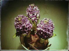 Hiacintus violet, trio