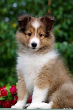Sheltie puppy looks just like the one I had named Scottie! 💕😇💕