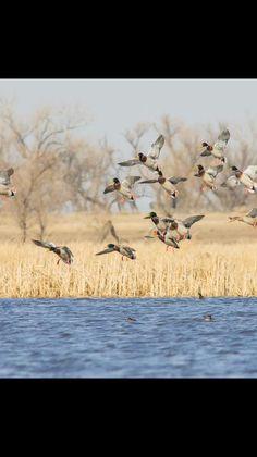 72d121d9e0e2f 7 Popular wildlife photos images   Landing, Ducks, Photos of