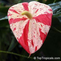Anthurium hybrid Shibori, Flamingo Flower, Variegated Flower Anthurium