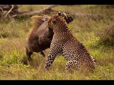 Leopard Kills Warthog Best of 2013