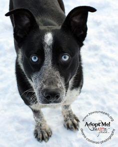 Adopted! Apollo - Australian Cattle Dog (Blue Heeler)/ Border Collie mix - Lyons, NY.