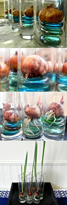 Alternative Gardning: Forcing bulbs indoors