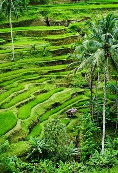 Rice terraces of Tegallalang in Bali. Bali Green is my favourite green! Places Around The World, Oh The Places You'll Go, Places To Travel, Places To Visit, Around The Worlds, Vacation Places, Ubud, Wonderful Places, Beautiful Places