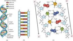 Image result for image of dna structure
