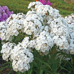 Sun Perennials: Coreopsis, Phlox, Irises, Peonies, and Cut Flowers, White Flowers, Tall Phlox, Full Sun Perennials, White Gardens, Plant Sale, House Front, Flower Beds, Shrubs