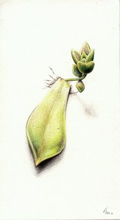 Illustration of a Succulent by this-is-no-good