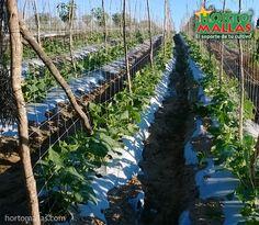 las cucurbitáceas como el pepino o el melón son fácilmente guiadas por el sistema HORTOMALLAS, ya que sus guías amarran la planta de forma natural al sistema de soporte Plants, Natural, Shape, Trellis, Growing Plants, Cucumber, Pumpkins, Mesh, Plant
