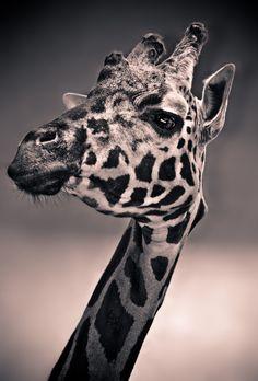 Epic Giraffe