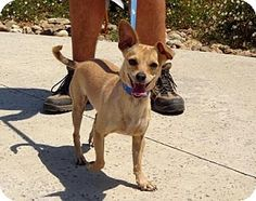 Lathrop, CA - Chihuahua/Terrier (Unknown Type, Small) Mix. Meet Lily, a dog for adoption. http://www.adoptapet.com/pet/15519854-lathrop-california-chihuahua-mix