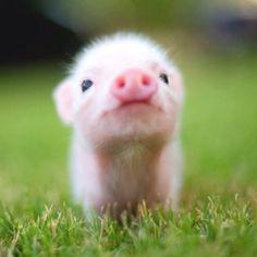 PIG VERY SWEET