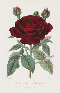 "Prince Humbert Rose, 1884 Roses et Rosiers was a comprehensive survey by ""horticulturist & amateur gardeners"" of the roses of day, along with the history of roses, and very serious discussion of cultivation techniques. The goal was to produce definitive work on roses, handsomely illustrated by well know French flower artists of the day. #Panteek #ValentinesDayGifts"