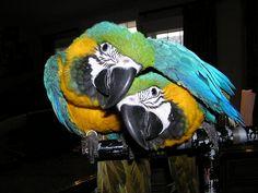 90,00€ · Guacamayo azul y dorado para adopción · Listo para ir loros macaw azul y oro con todos los documentos registrados y jugando juguetes · Mascotas y animales > Mascotas > Pájaros