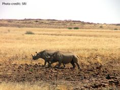 When a female black rhino has accepted a male's presence, she will cock her tail ready for mating. Copulation usually lasts around half an hour, but pairs may stay together for up to 30 days